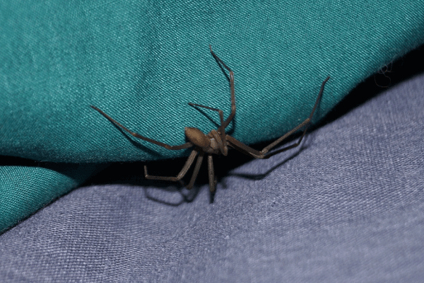 Brown Recluse Identification, Pictures of Bites, Habitat, and Prevention