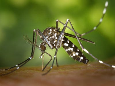 Aedes Albopictus Asian Tiger Mosquito Close-up
